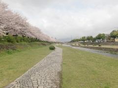 秦野 水無川 桜並木